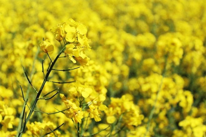 rapeseed oil is made of yellow rapeseed