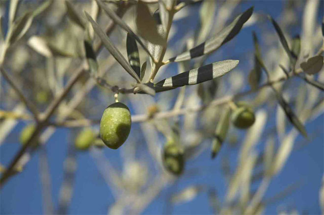 Olive leaves and olive in the tree