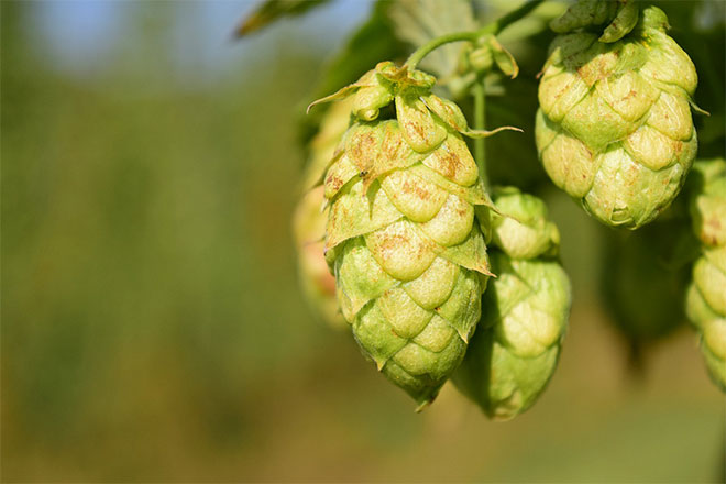 hops for insomnia